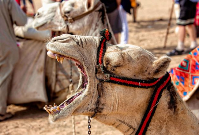 camel in red halter with mouth open
