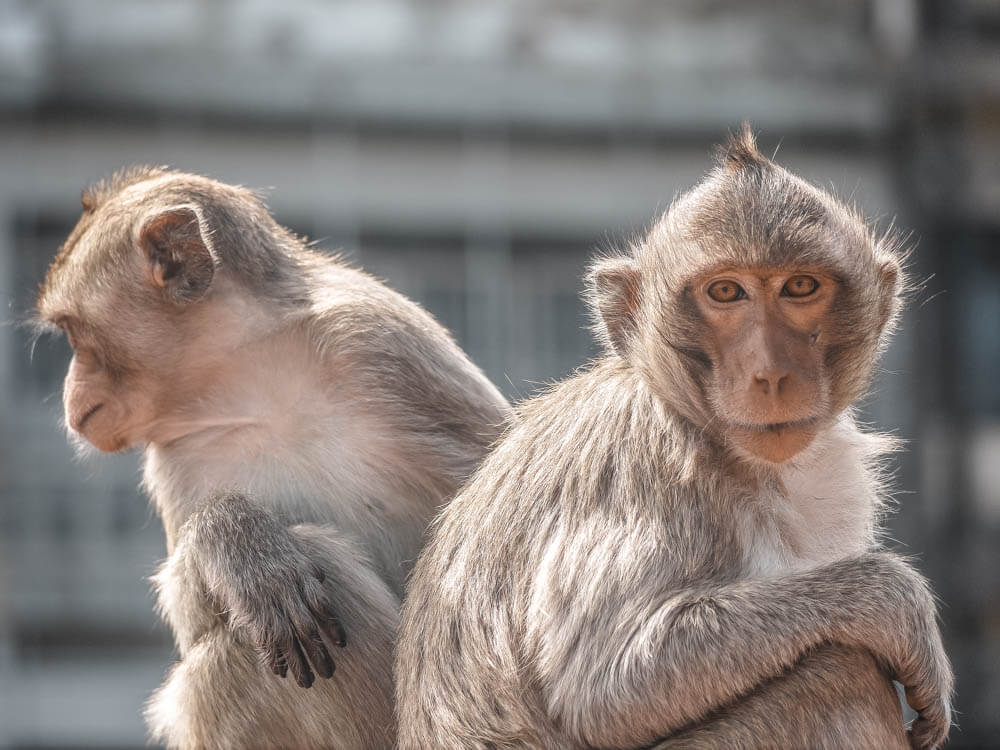two monkeys, one looking at the camera, the other looking away