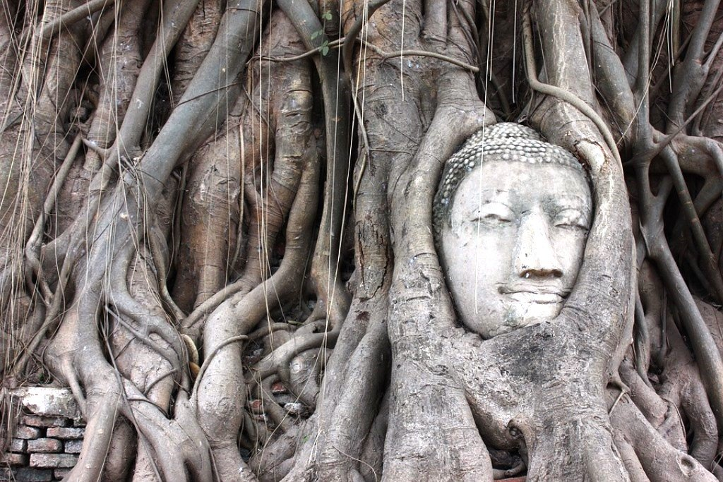buddha head carved into roots of tree