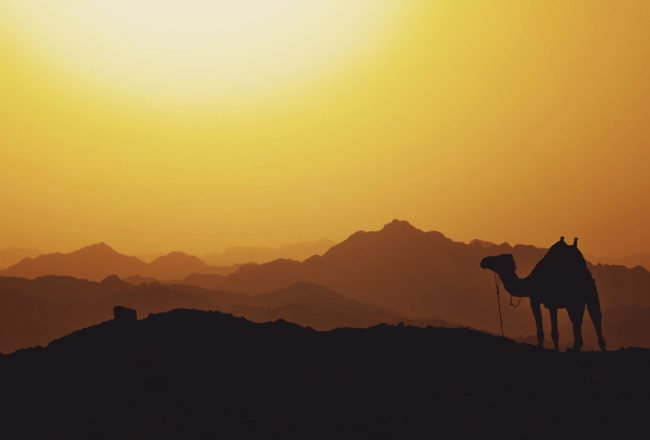 camel standing on dunes beneath orange sky