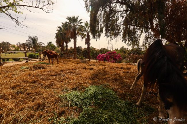 mares and foals at Laila oasis Arabians in cairo, egypt