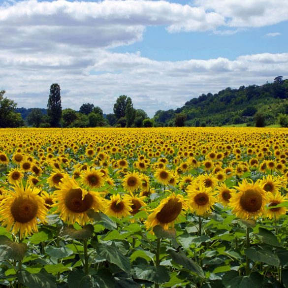 sunflower field beneath blue cloudy sky
