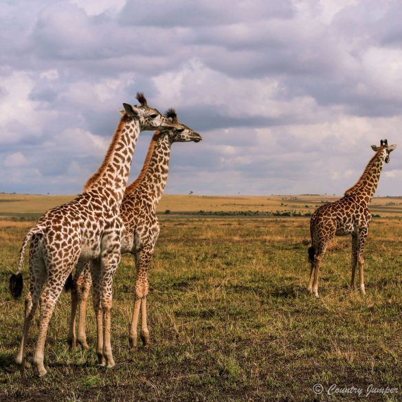 three baby giraffes on the Sahara in kenya